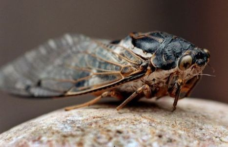 10 fascinating things about Tucson's cicadas | Arizona Daily Star | CALS in the News | Scoop.it
