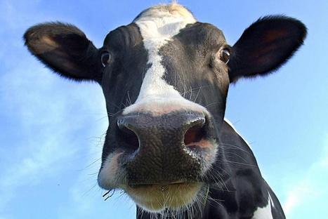 No Bio-Security at largest livestock market in SW England | Badger ... | ALS Animals | Scoop.it
