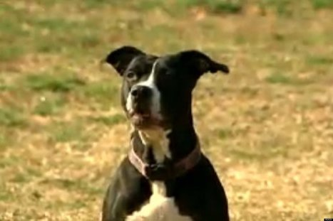 WATCH: Baby The Pit Bull Is A Huge Hero | Radio Show Contents | Scoop.it