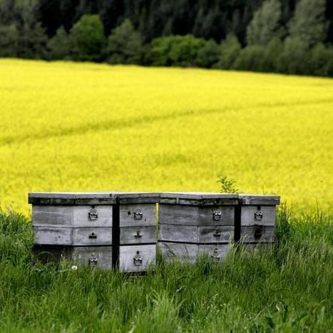 Les néonicotinoïdes, ces pesticides qui attirent les abeilles | apiculture31 | Scoop.it