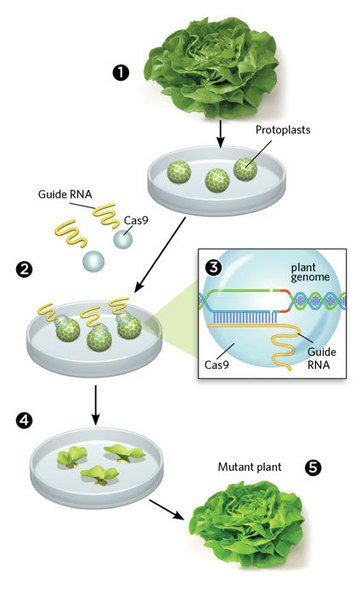 Gene Editing Without Foreign DNA | The Scientist Magazine® | Longevity science | Scoop.it