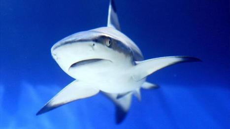 Méditerranée : les requins blancs vont-ils disparaître ?   www.directmatin.fr   Les AMP en Méditerranée   Scoop.it