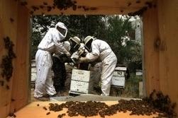 Les apiculteurs veulent le retour de leur arme anti-frelons - Goodplanet info   Biocontrole   Scoop.it