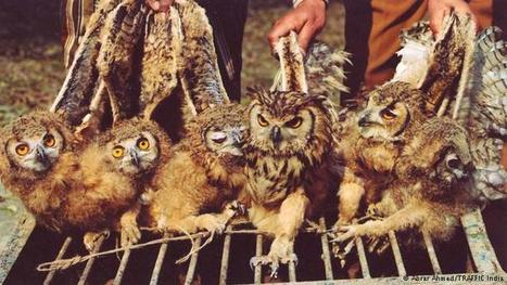 Owl sacrifice in India: A sinister trade | Global Ideas | DW.COM | 27.09.2016 | Farming, Forests, Water, Fishing and Environment | Scoop.it