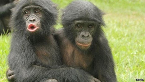 Apes comfort each other 'like humans' | Amazing Science | Scoop.it