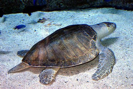 Prohíben las sillas de playa en la India para proteger tortugas | + VERDE | Educacion, ecologia y TIC | Scoop.it
