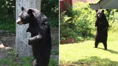 #Pedals the black bear, known for walking upright, 'killed by hunter' #US | Messenger for mother Earth | Scoop.it