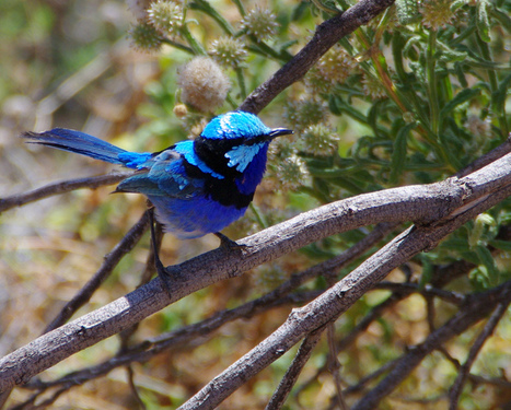 Roses are red, ultraviolets look blue: why fairy-wrens have eyes for each other, not you | 100 Acre Wood | Scoop.it
