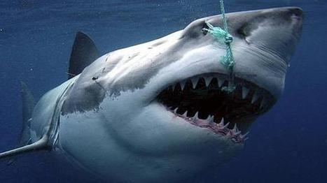 Australian Shark Slaughter Impoverishes Ocean.  #noWAsharkcull | Sharks | Scoop.it