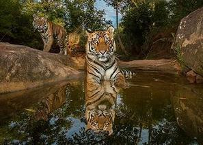 Wild Tigers: the Time to Act Is Now | Environment News Service | Science and Nature | Scoop.it