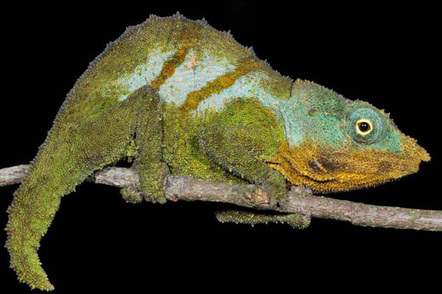 Google Earth spurs discovery of a 'new' chameleon species | Paneco Press: Species Watch | Scoop.it
