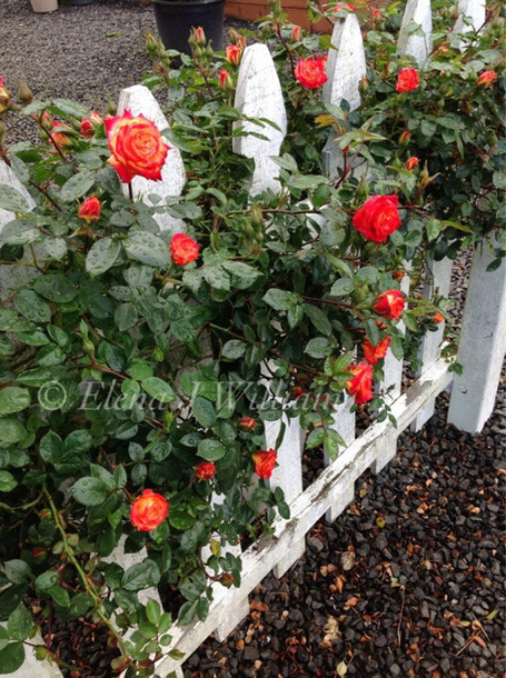 #WordlessWednesday | Garden Roses | Scoop.it