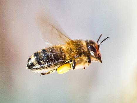 Des nanoparticules produites à partir du venin d'abeille tueraient le VIH | Coup de coeur, coup de rire | Scoop.it