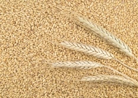 Tutelare la risorsa grano come materia prima per la nostra economia. | Le Acli in Rete | Scoop.it