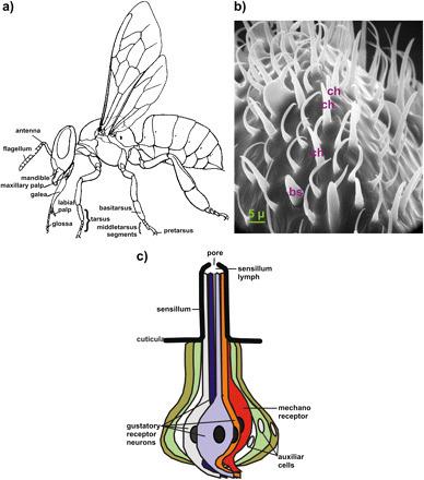 La notion de goût chez les insectes | EntomoScience | Scoop.it
