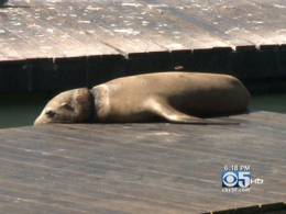 Sea Lion Found Entangled At Pier 39 Returned To Ocean - CBS San Francisco | All about water, the oceans, environmental issues | Scoop.it