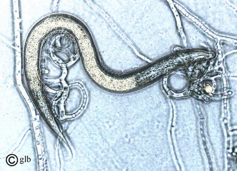 When Threatened By Worms, Bacteria Summon Killer Fungi – Phenomena: Not Exactly Rocket Science | Media Cultures: Microbiology in the news | Scoop.it