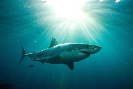 Sharks with frickin' tweets set off alerts for swimmers—but how much good will they do? - NBC News.com | All about water, the oceans, environmental issues | Scoop.it