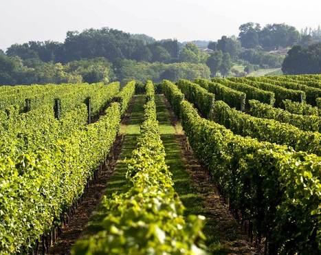 Une nouvelle parcelle pour le vignoble expérimental de l'Institut Français de la Vigne et du Vin | Le Vin et + encore | Scoop.it