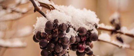 Wine frozen on a vine | The Haxel Post - Taste of Poland | Scoop.it