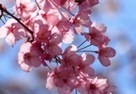 Cherry Blossom Festival in Budapest | We are favorite travel around the world. | Scoop.it