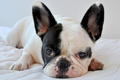 10 Dog Breeds for the Busy Family - Pet360 Pet Parenting Simplified | Dog Lovers | Scoop.it