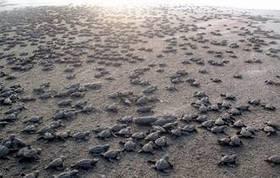 Liberan en Tamaulipas más de un millón de crías de tortuga - El Mañana - Tamaulipas | Agua | Scoop.it