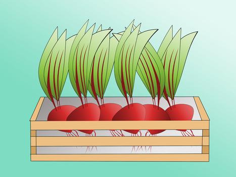 How to Grow Beetroot | Gardening | Scoop.it