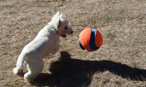 Tweet from @dailywestie   West Highland White Terrier   Scoop.it