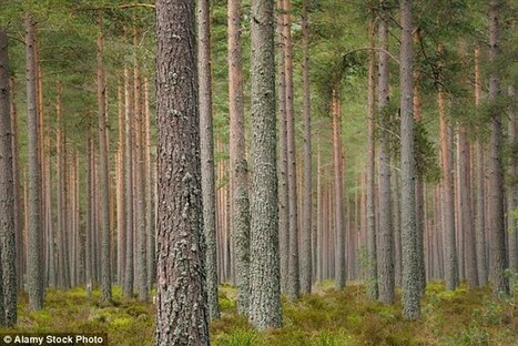 Fossils suggest pine tree learnt coping with blaze during Cretaceous | Sustainable Forestry | Scoop.it