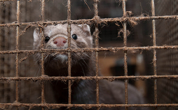 Victory! Fur Farming Banned in the Netherlands | Compassion in Action | Scoop.it