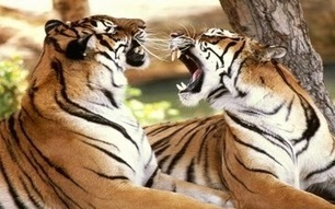 Tiger Reserves In india: Why extinction of wildlife occurs | Tadoba Tiger King Resort | Scoop.it