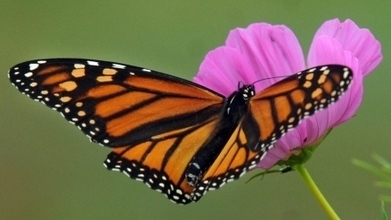 Monarch butterfly decline linked to spread of GM crops | Sustain Our Earth | Scoop.it