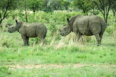 1 338 rhinocéros ont été braconnés en Afrique en 2015 | Actualités Afrique | Scoop.it