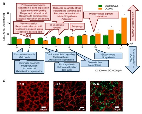 Transcriptional Dynamics Driving MAMP-Triggered Immunity and Pathogen Effector-Mediated Immunosuppression in Arabidopsis Leaves Following Infection with Pseudomonas syringae pv tomato DC3000   Plant-Microbe Interaction   Scoop.it