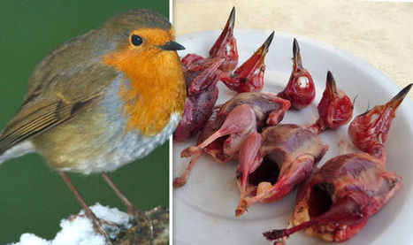 SKINNED and ready to EAT: British Robins among 25m birds SLAUGHTERED in southern Europe   Welfare, Disability, Politics and People's Right's   Scoop.it
