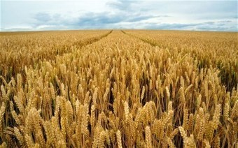 Modern Wheat Is The 'Perfect Chronic Poison' Says Expert | Plant Based Nutrition | Scoop.it