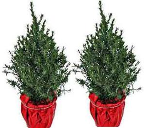 Ozarks Gardening: Rosemary Christmas Trees Indoors   Annie Haven   Haven Brand   Scoop.it