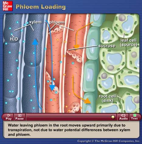 "McGraw Hill Animations - Phloem Loading, osmosis, water uptake and mineral uptake | ""Biotech and Mol Bio"" 