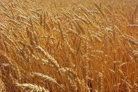Scientists Unlock Wheat's Genetic Secrets with New Blueprint - Science World Report | Molecular plan pathology | Scoop.it