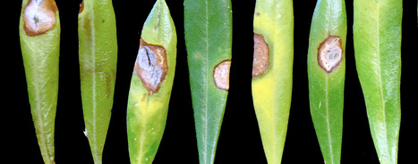 New Blight Alarms California Olive Growers | plant pests | Scoop.it