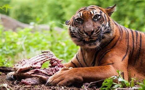 Indian tigers 'killed off with pesticides' | Wildlife Trafficking: Who Does it? Allows it? | Scoop.it
