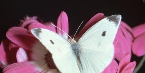 Les papillons nous donnent des leçons sur l'énergie solaire | EntomoNews | Scoop.it