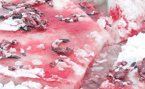 HORREUR : Feu vert pour tuer 400 000 phoques. L'autre visage de l'industrie du luxe. | Chronique d'un pays où il ne se passe rien... ou presque ! | Scoop.it