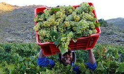 Global wine production expected to fall by 5% due to 'climatic events' | Sustain Our Earth | Scoop.it