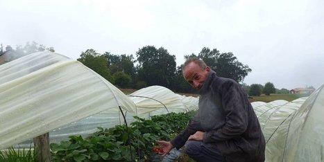 Des fraises bio, c'est possible | Agriculture en Dordogne | Scoop.it