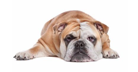 Loss of Appetite in Dogs – PetPremium   Pet Bereavement   Scoop.it
