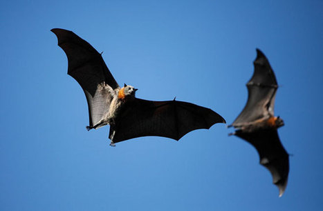 Poop the Key Ingredient in Bat Species ID Tool - Discovery News | Bat Biology and Ecology | Scoop.it
