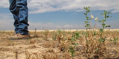 Can genetic engineering help quench crops' thirst? | Plant Biology Teaching Resources (Higher Education) | Scoop.it