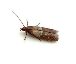 Indian Meal Moth - Dynamic Exterminating Blog | Pest Control | Scoop.it